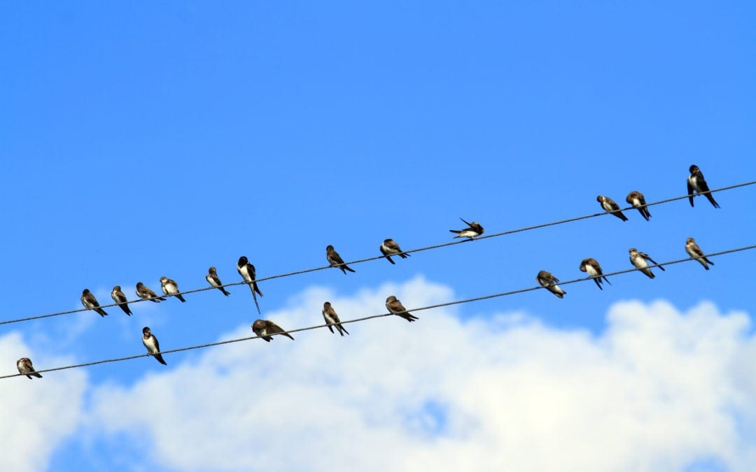 Swallows sit on electric wires