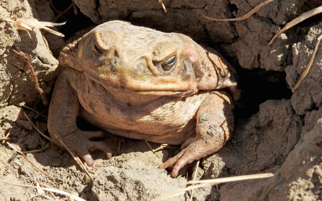 Lessons from the cane toad …and a new breed of invasive species