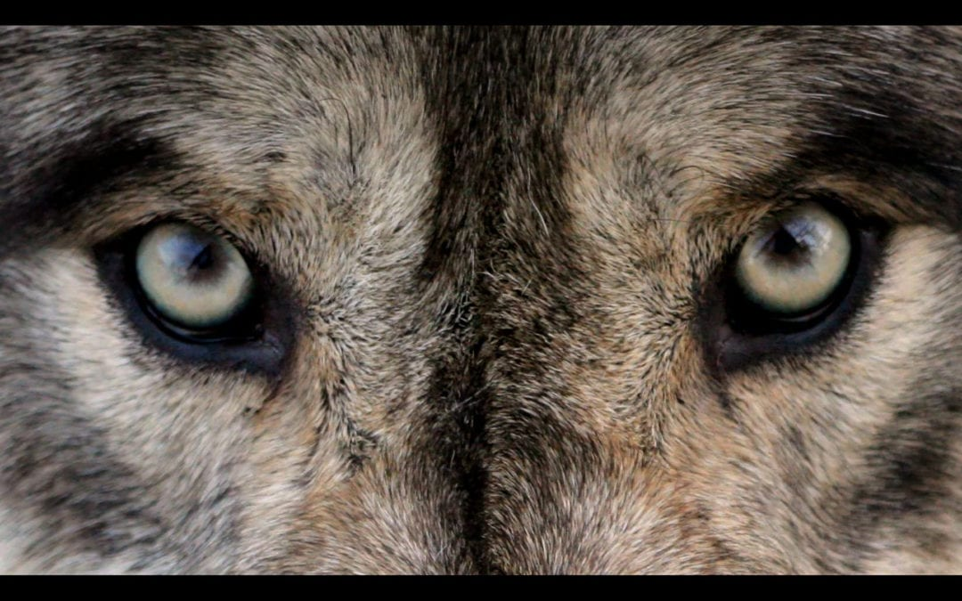 The Wolf You Feed Gets Stronger